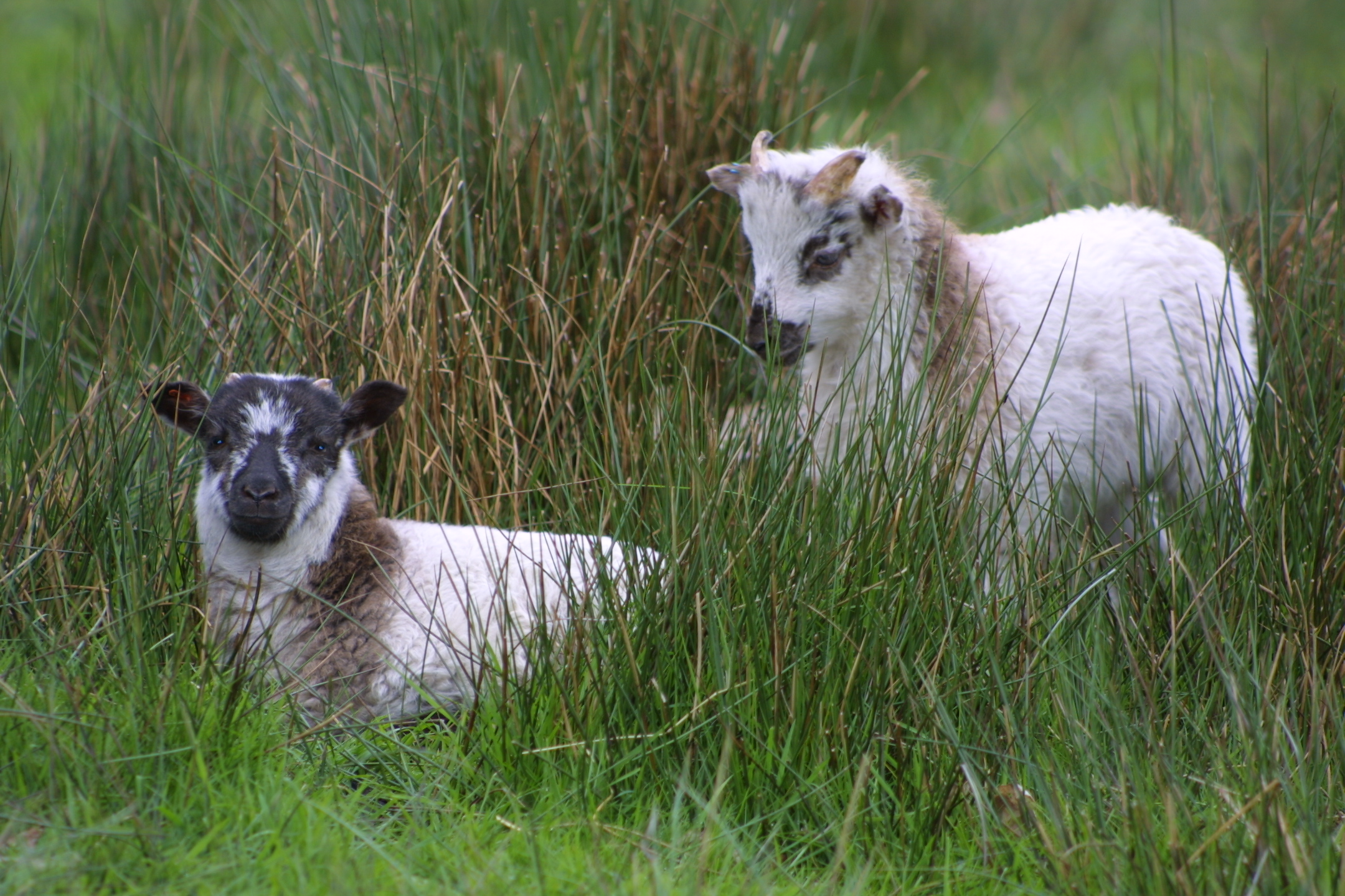 soay sheep boreray sheep rare breed sheep sales advice information